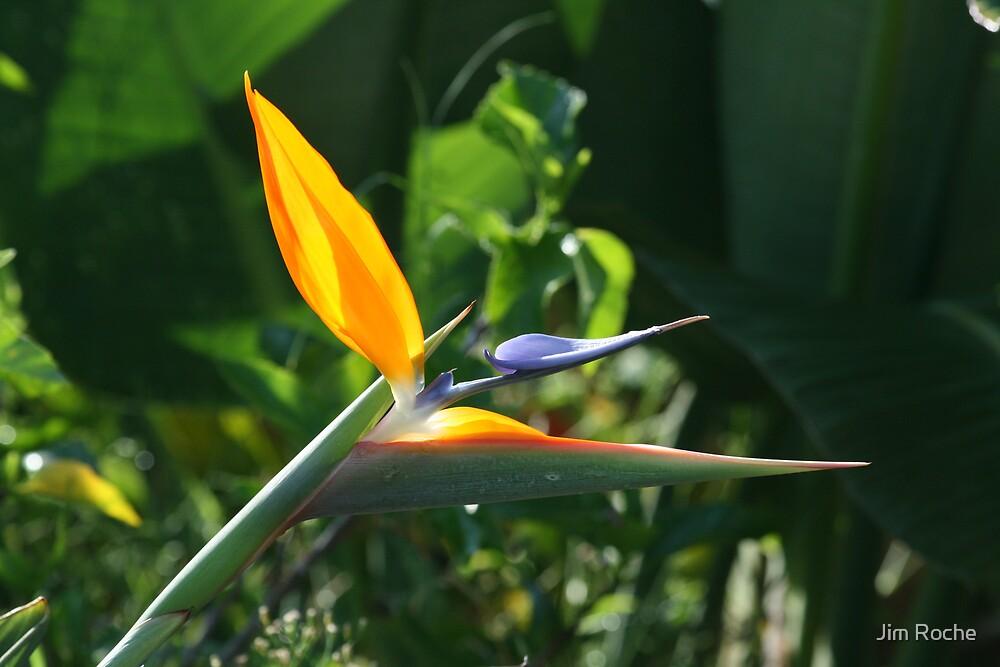 Orange Bird of Paradise by Jim Roche