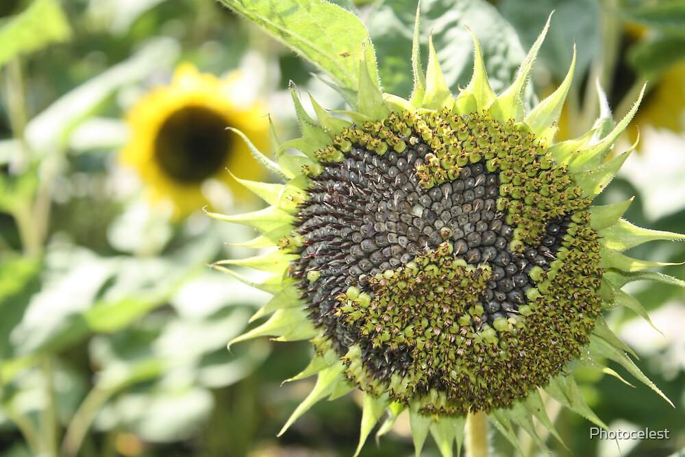Sunflower by Photocelest