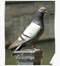 Pigeon... Poster