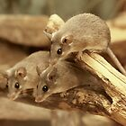 Harvest Mice by AnnDixon