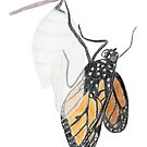 Monarch Butterfly emerging from its Chrysalis by Linda Ursin