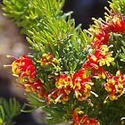 Grevillea In Mandurah by lezvee
