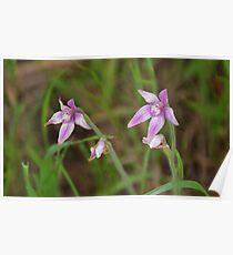 Pink Fairy Orchid, Caladenia latifolia Poster