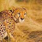 Stalking Cheetah by Wild at Heart Namibia