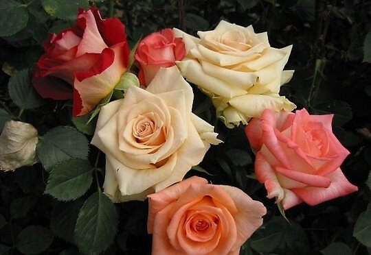 roses2 by artandme
