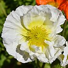 Poppy in White by Penny Smith