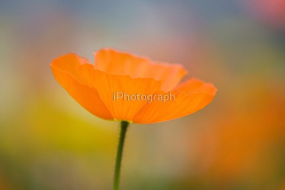 Flower by iPhotograph