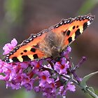 Small Tortoiseshell Butterfly on Budlea Flower by AnnDixon