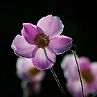 japanese anemone with backlighting by evening sun by Andrew Jones