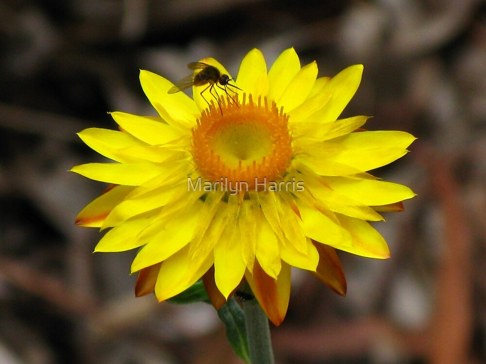 Yellow Paper Daisy - Australian Native by Marilyn Harris