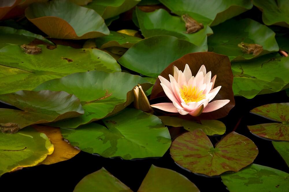 Waterlilly  by Ian Benninghaus