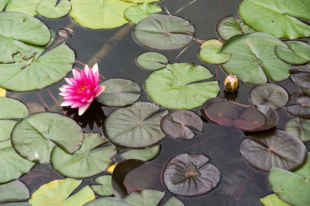 Beautiful pink waterlily in the Danube Delta, Romania, on summer day by photonxt