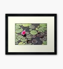 Beautiful pink waterlily in the Danube Delta, Romania, on summer day Framed Print