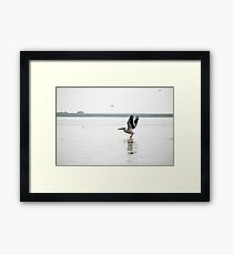 Landscape with white pelicans in Danube Delta, Romania, in a summer sunny day Framed Print