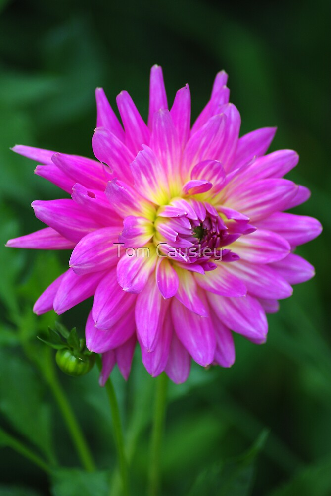Michigan Dahlia by Tom Causley