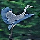In Flight Heron 1 by dougie1