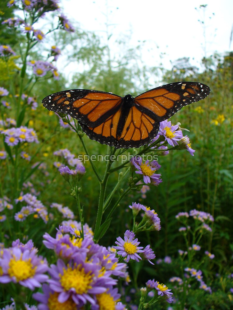 Monarch Butterfly by spencerphotos