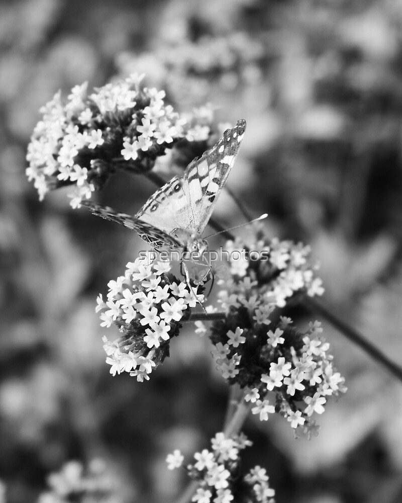 Painted Lady Butterfly by spencerphotos