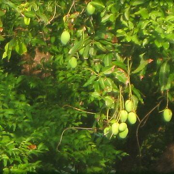 Mangos Growing by DAdeSimone