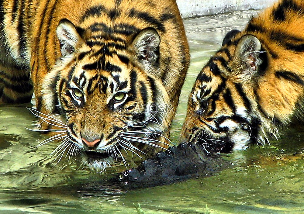 Sumatran Tigers by A90Six