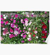 Natural background with pink flowers Poster