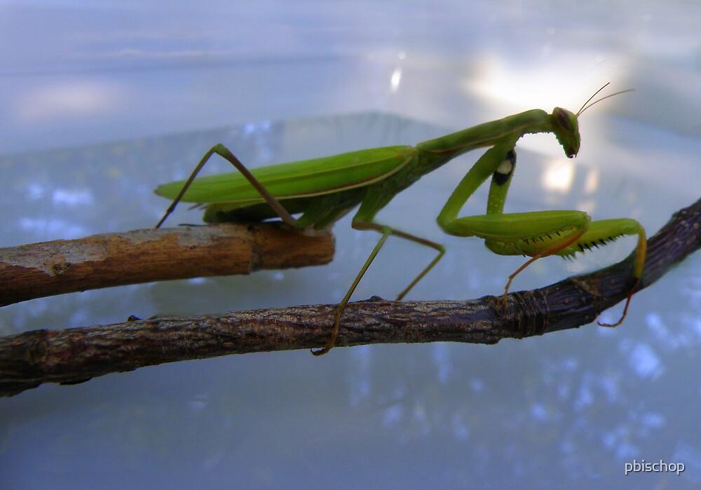 Mantis by pbischop