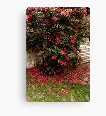 Red camellia flowers blooming in the garden Canvas Print