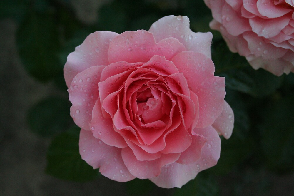 rose by Lincoln Carnegie