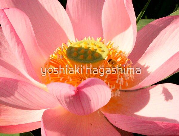Pinklotus by yoshiaki nagashima