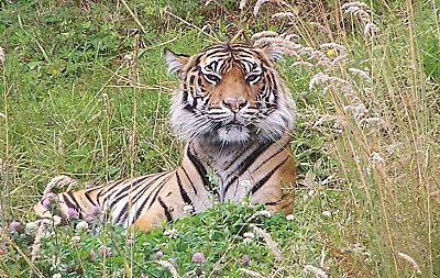 Tiger Keeping Watch by Jonice