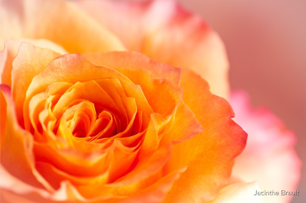 The Rose 1 by Jacinthe Brault
