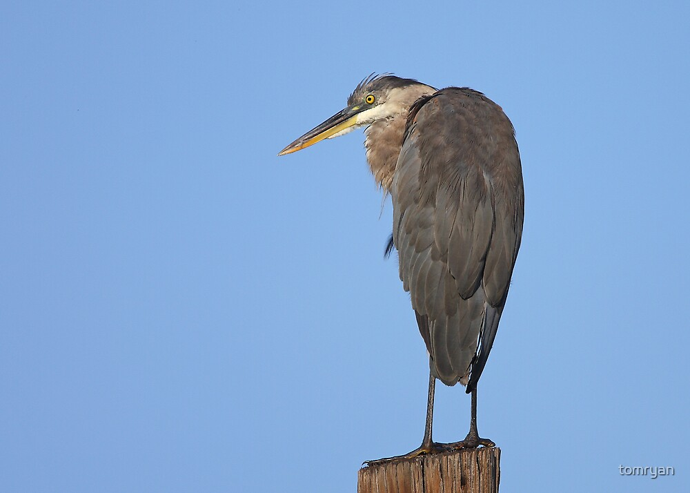 Great Blue Heron by tomryan
