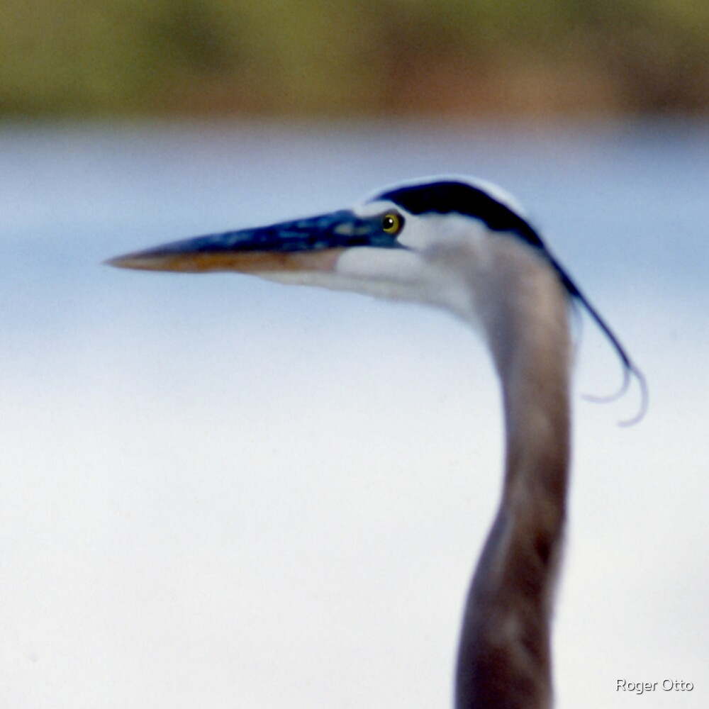 Heron Portrait by Roger Otto