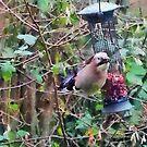 Jay on garden nut feeder by David Carton