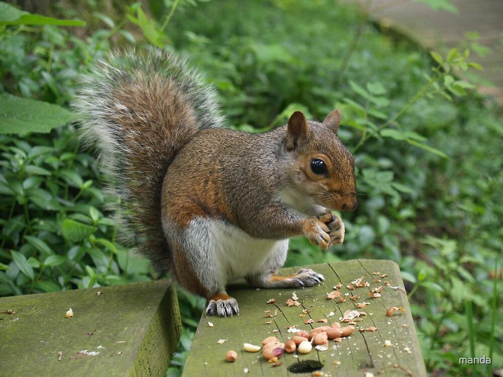 Grey Squirrel by manda