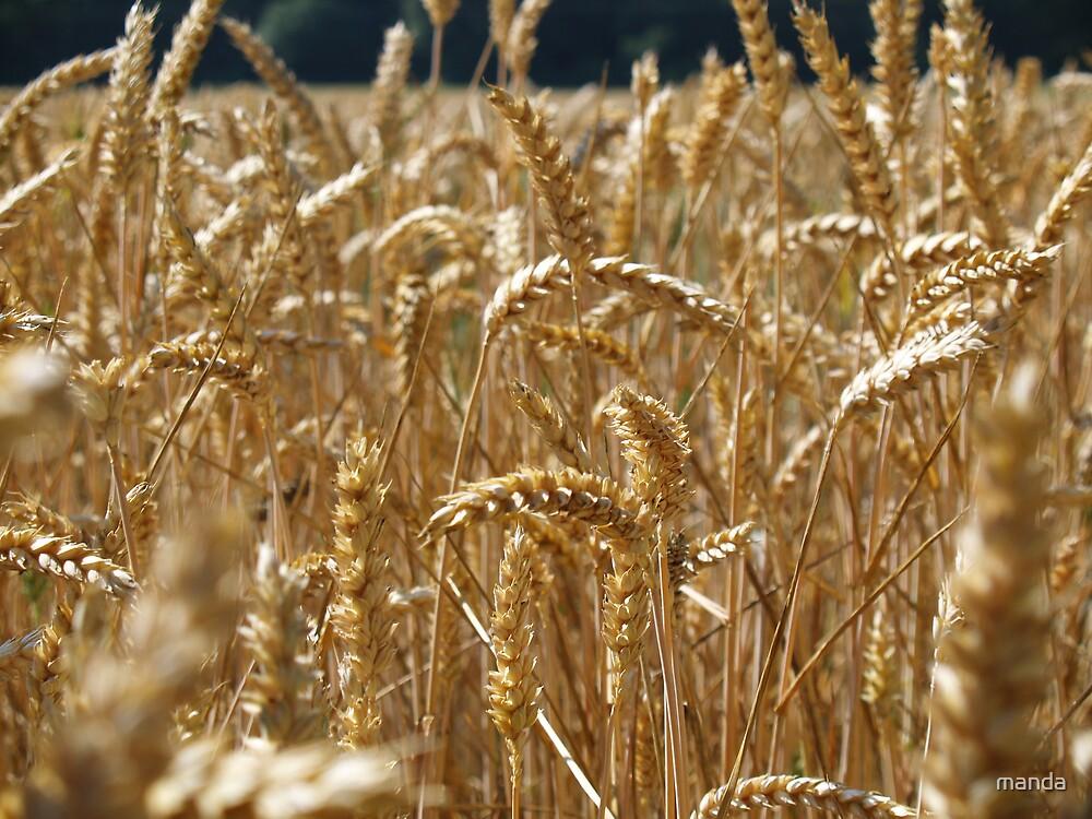 golden harvest by manda
