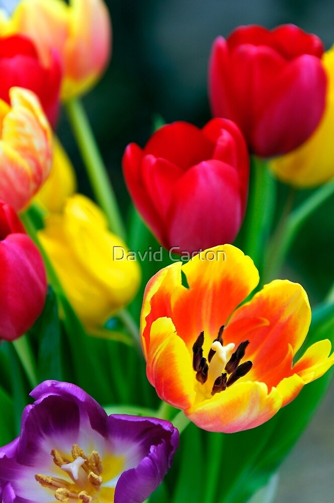 Colourful Tulips by David Carton