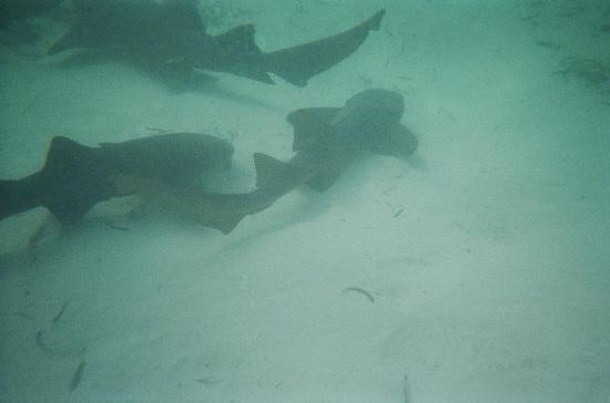Sharks at Punta Cana, Dominican Rep by chord0