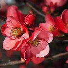 Beautiful Flowering Quince Romance by Joy Watson