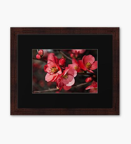 Beautiful Flowering Quince Romance Framed Print