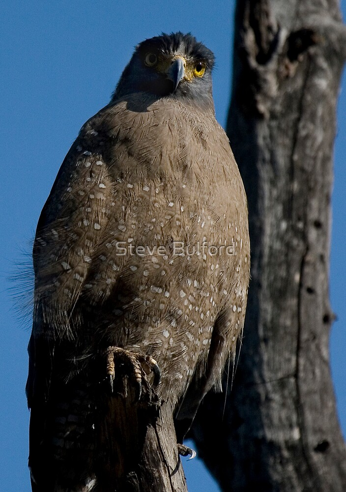 Crested Serpent Eagle II by Steve Bulford
