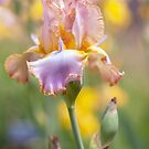 Afternoon Delight iris in garden by JennyRainbow
