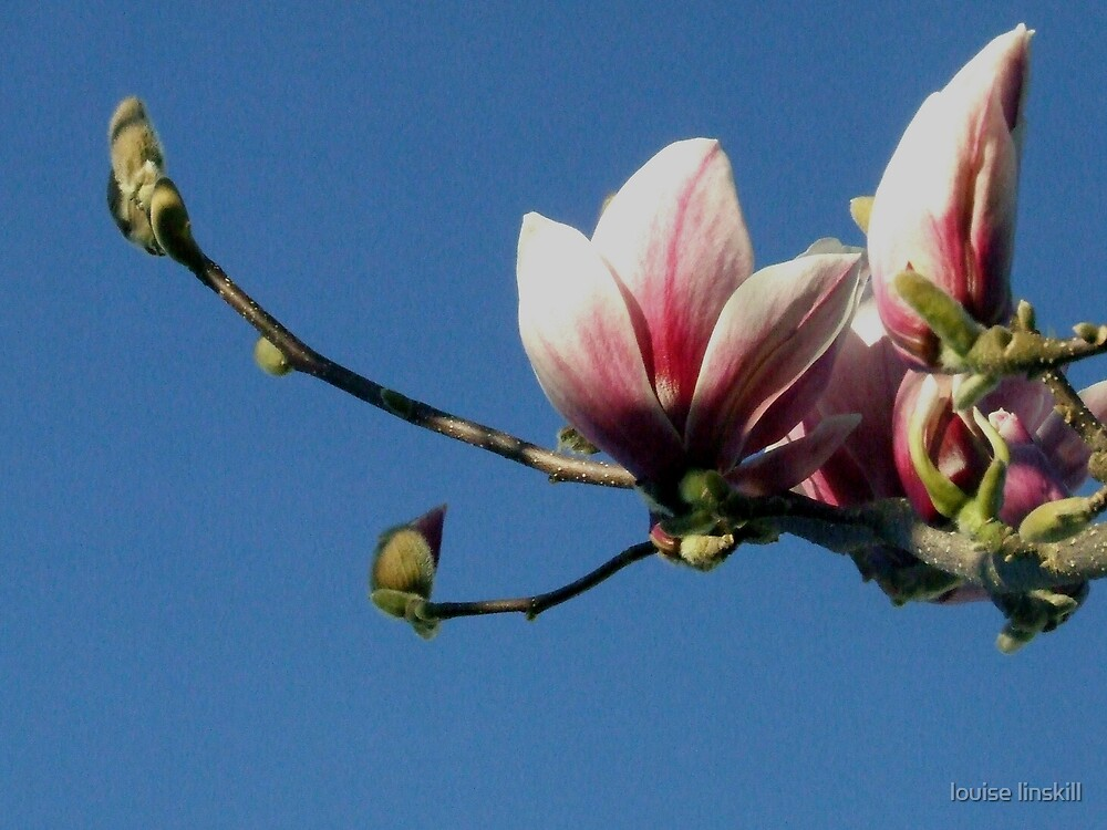 sweet magnolia by louise linskill