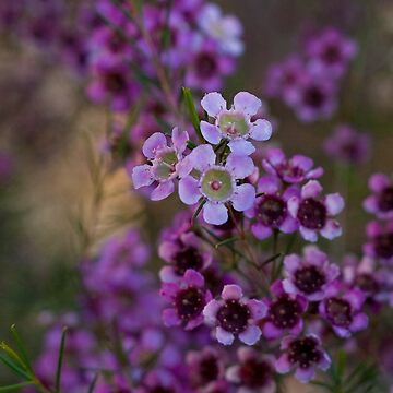 Pink flowers by jewelsee