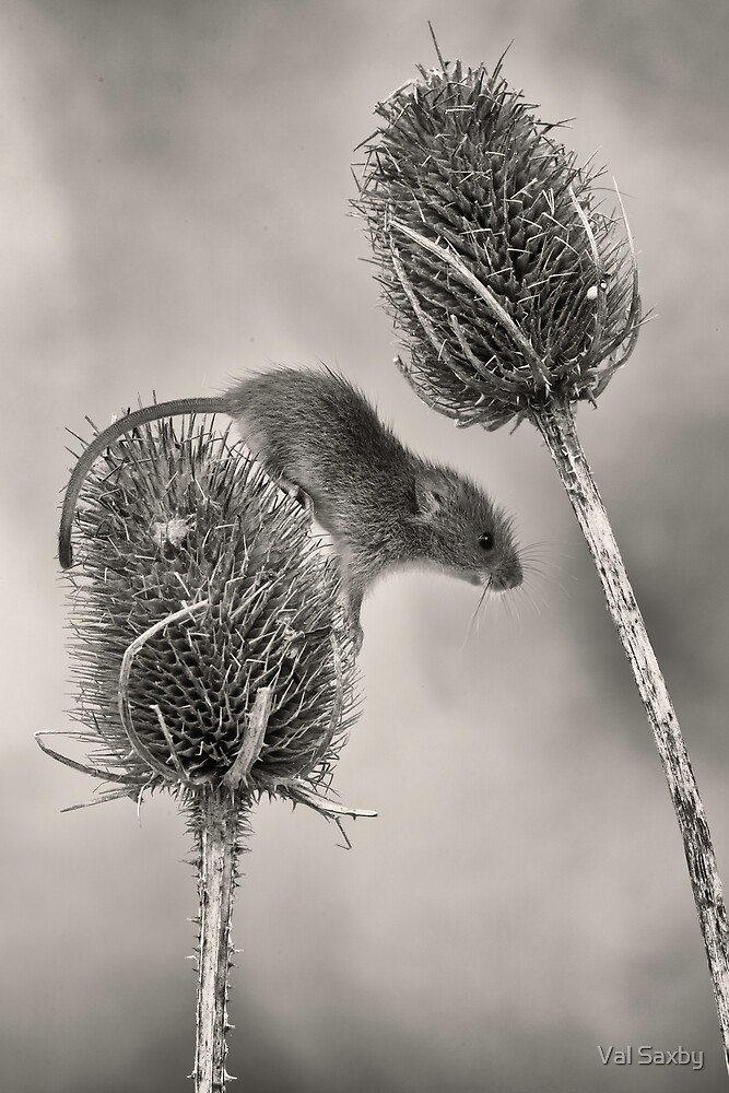 Harvest Mouse  by Val Saxby