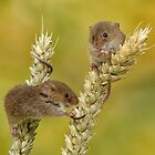 harvest mice on corn by Val Saxby