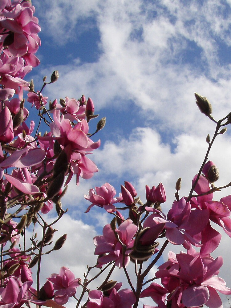 magnolia blossoms and spring sky by gaylene