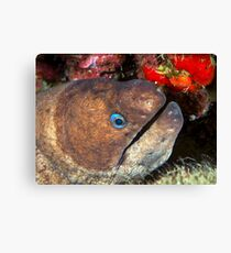 Moray eel Canvas Print
