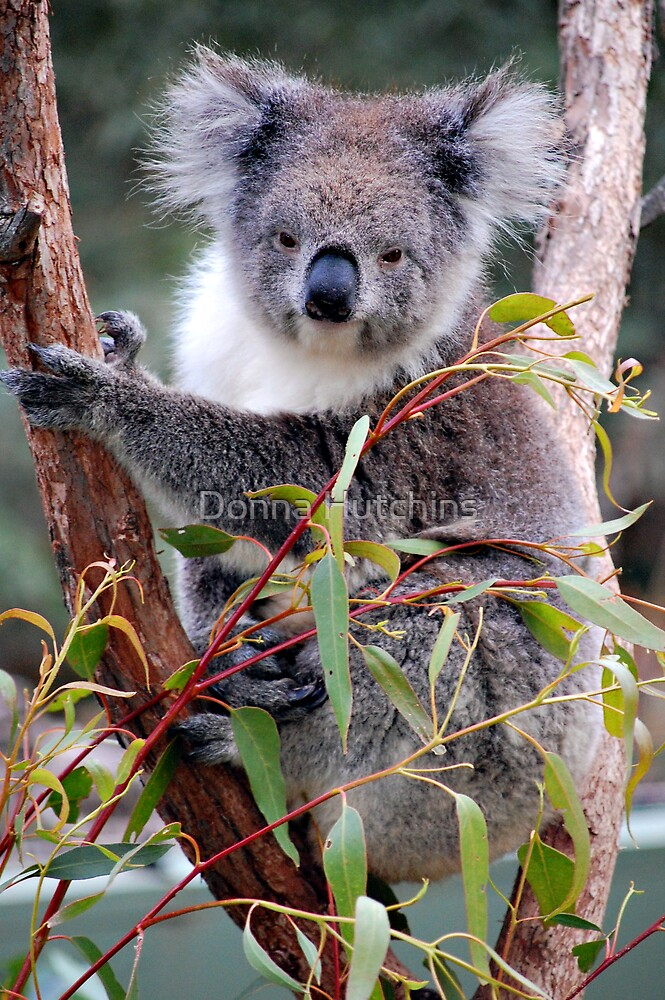 Koala by Donna Hutchins