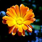Marigold by Joanne Phillips
